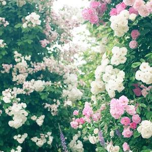 バラの花アイコン