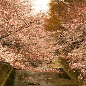 練馬の桜アイコン